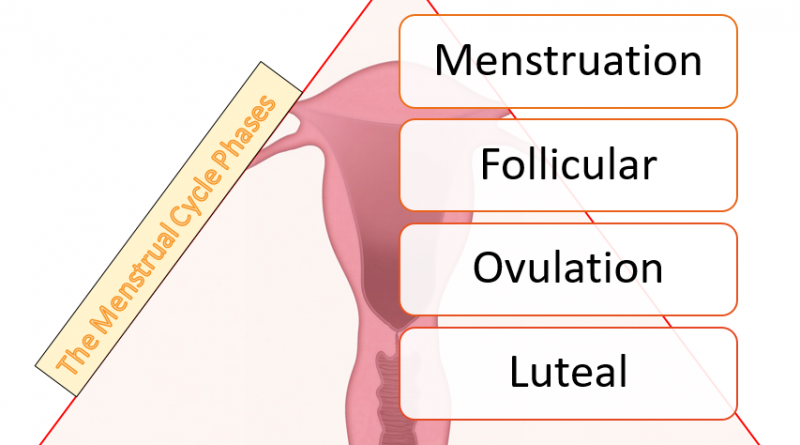 The Menstrual Cycle Phases