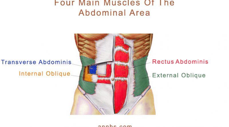 Four main muscles of the abdominal area