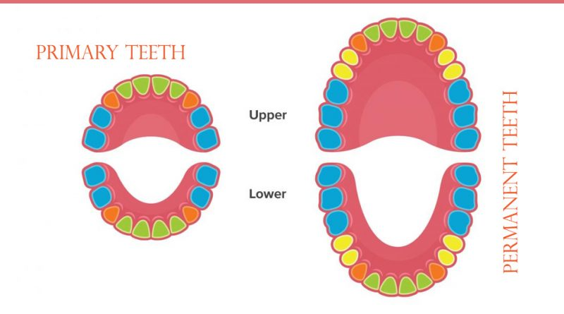 Division of Teeth